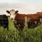 Novo Brdo: Krađa krava u Zebincu, oglasila se i Kancelarija za KiM