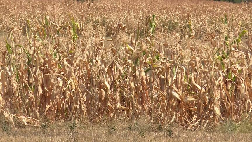 Припрема за бербу кукуруза у Шилову
