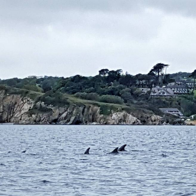 Graceful Blog - Cornwall - Rissos Dolphins