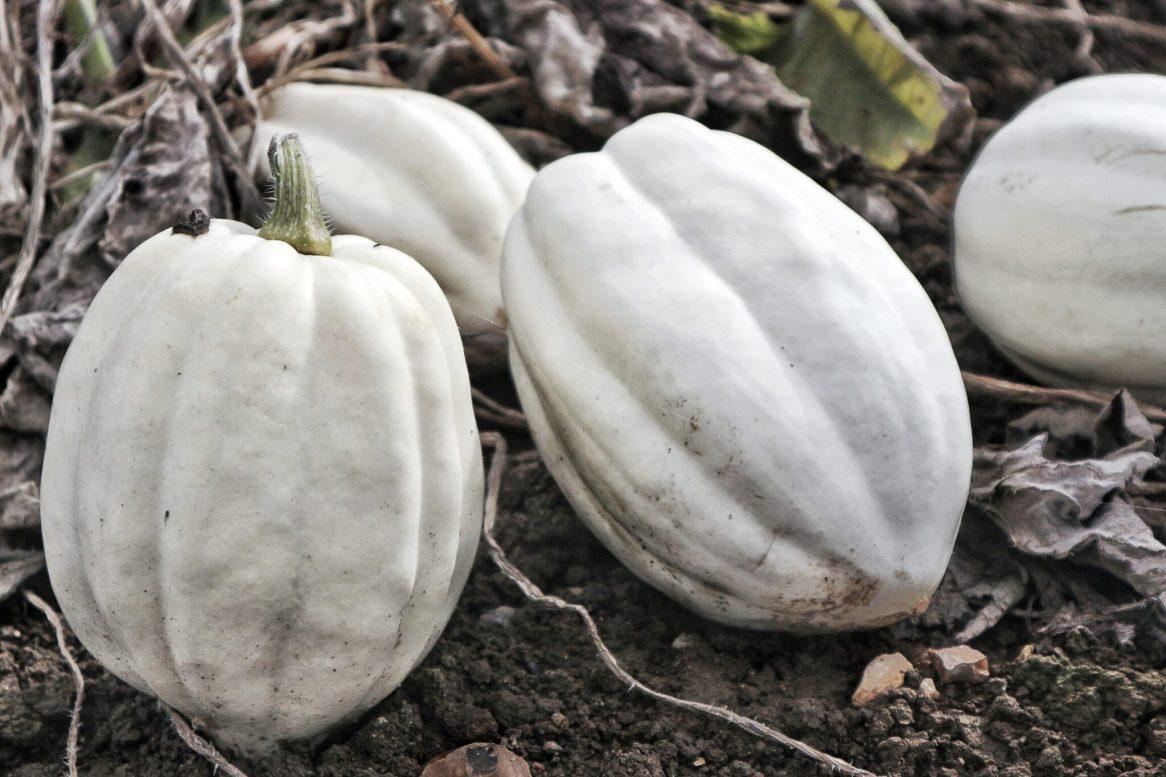 Graceful Blog white pumpkins at Foxes Farm Produce Essex Pumpkin Patch