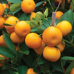 Exploding Oranges