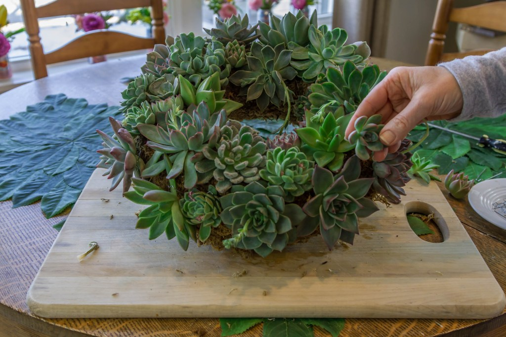 Filling in the gaps with cuttings in my succulent wreath.