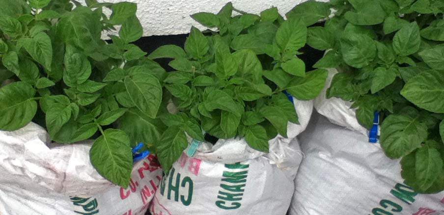 potatoes growing in coal sacks