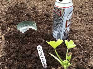 how to kill slugs, image of can of beer