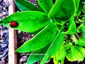 broad bean plant, ladybird, ants and greenfly