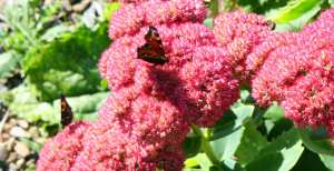 butterflies on sedum illustrating a post about butterflies in Galway