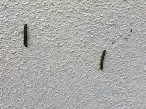 Caterpilars. Image of caterpillars climbing up wall