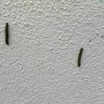 Caterpilars. Image of caterpillars climbing up wall