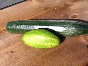 Growing cucumbers. Image of a homegrown and shop cucumber