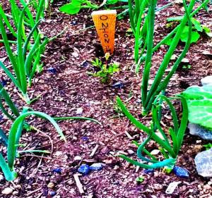 Onions illustrating raised bed garden