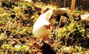 Hen. Image of a hen