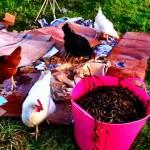 hens-on-cardboard