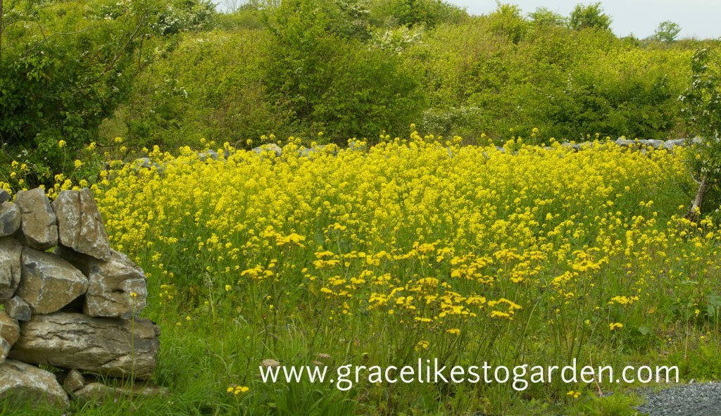 field of ragwort