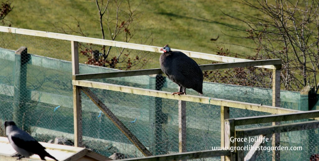 guinea hen perched on a fence