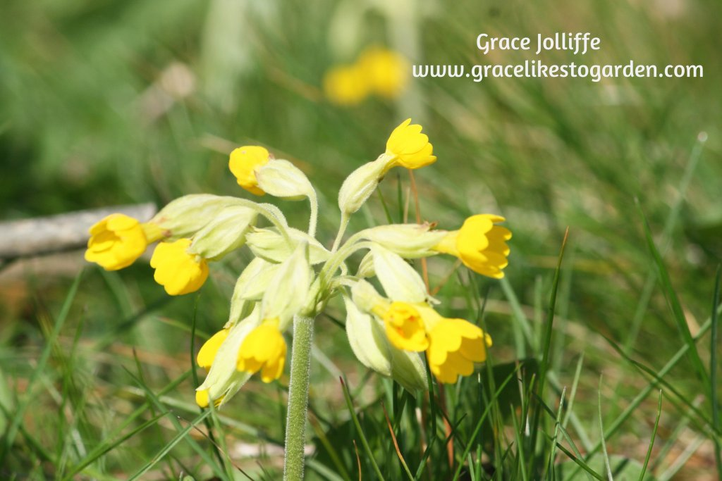 cowslip illustrating an article about cowslips growing along the Wild Atlantic Way