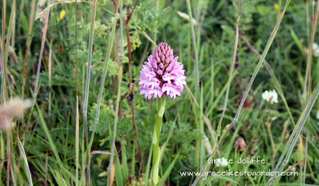 wild pink orchid illustrating an article about the flowers of the wild atlantic way