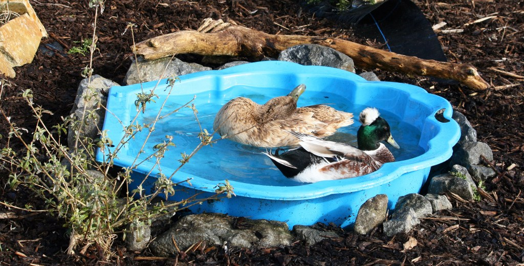 duck and drake swimming in a paddling-pool