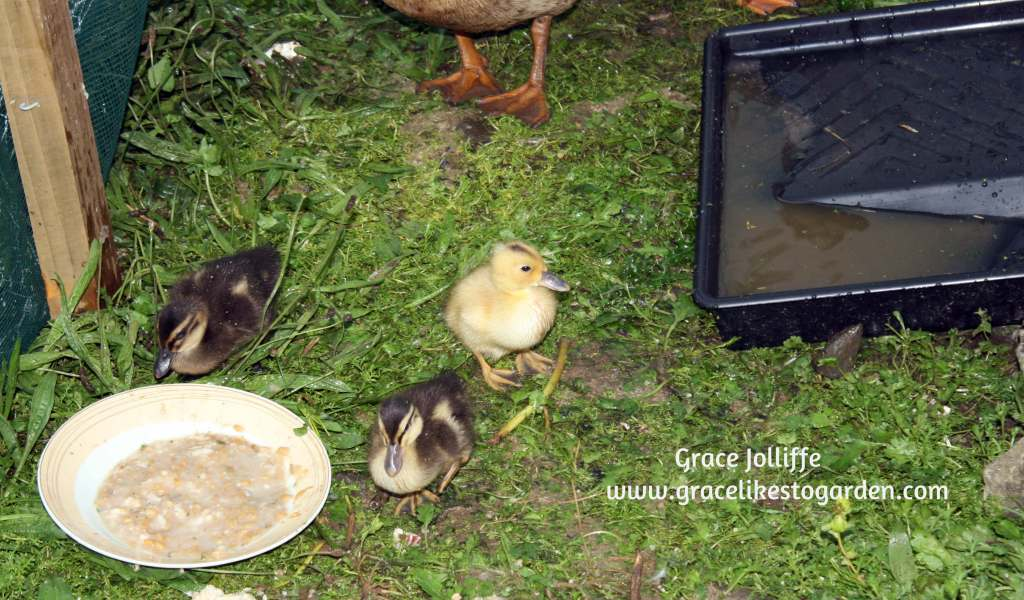 ducklings near paint tray