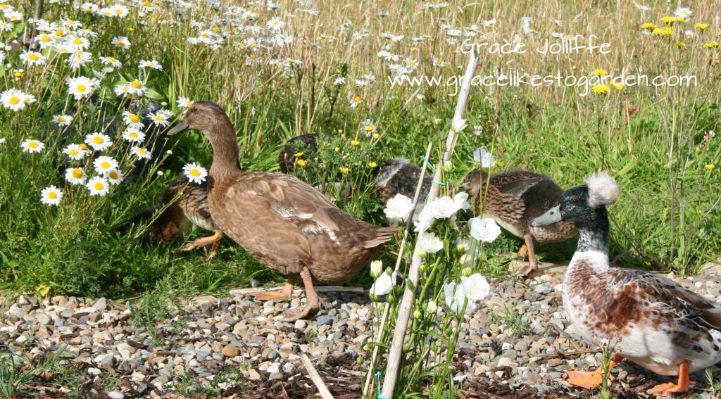 a family of ducks walking and foraging