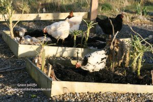hens-eating-cabbage