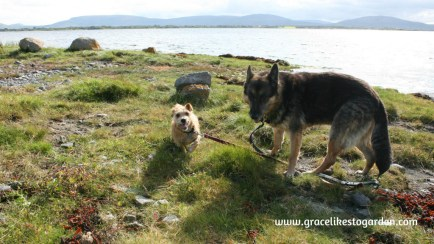 German shepherd and small terrior on an Irish Island beautiful causeway on Island Eddy illustrating an article about Wild Teasel
