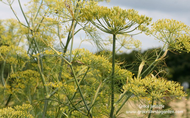 fennel growing in a garden-  illustrating an article about growing herbs
