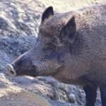 Pig, Attitude Toward Sin