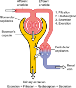 The Podocyte Society (intended for Medical professionals..Line Diagrams) Diagram of renal corpuscle structure: A – Renal corpuscle B – Proximal tubule C – Distal convoluted tubule D – Juxtaglomerular apparatus 1. Basement membrane (Basal lamina) 2. Bowman's capsule – parietal layer 3. Bowman's capsule – visceral layer 3a. Pedicels (Foot processes from podocytes) 3b. Podocyte 4. Bowman's space (urinary space) 5a. Mesangium – Intraglomerular cell 5b. Mesangium – Extraglomerular cell 6. Granular cells (Juxtaglomerular cells) 7. Macula densa 8. Myocytes (smooth muscle) 9. Afferent arteriole 10. Glomerulus Capillaries 11. Efferent arteriole https://en.wikipedia.org/wiki/Podocyte#/media/File:Renal_corpuscle.svg