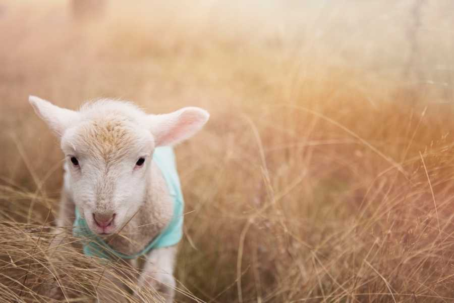 Wool, cashmere 2021 design sustainable fashion (3) lamb