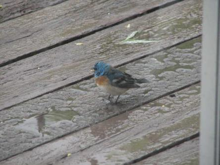 wet blue bird
