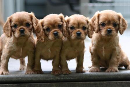 web puppies large