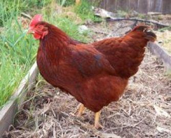 Hen Rhode Island Red