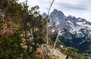 Blister rust infections on whitebark pine in Grand Teton National Park.
