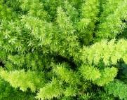 Asparagus decorativ