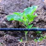 drip-irrigation-farming