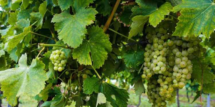 Armagnac: Τι είναι και πώς να πιείτε