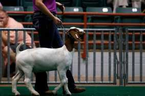 Baylee Tatum, 12, a student from Colquitt County, walks with one of her goats during the Market Goat competition at the Georgia National Fair in Perry, Georgia, on Saturday, October 7, 2017. Tatum has been showing for seven years and showed two goats for this specific competition. (Photo/Reann Huber)