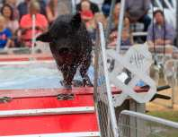 A pig races as part of the Robinson's Racing Pigs and Pig Paddling Porkers show at the Georgia National Fair, in Perry, Georgia, on Saturday, October 7, 2017. Robinson's travels with fair across the country with pigs performing in exhibition shows. (Photo/Savannah McCoy)
