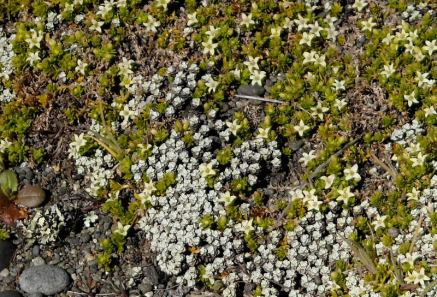 Close up of Raoulia australis (silver) slumming it with Galium propinquum whose white flowers release a delicate perfume. The latter is a relative of that most annoying garden weed, cleavers or bedstraw.