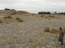 This gravel pit was formed to make the mound in the background and contains 4 spp of Raoulia mat daisys. Brown bushes are dead gorse bushes.