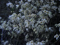 leafless clematis draped over....