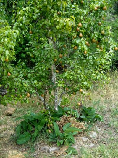 Pears with a living comfrey mulch