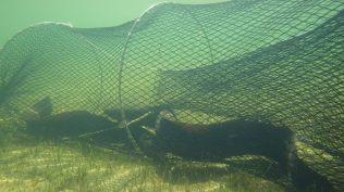 Long finned eels in a Fyke net, Lake Heron, Canterbury
