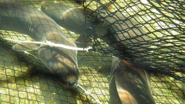 Long finned eel