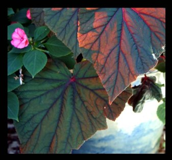 Angel Wing begonia lit from the front..see last post for backlit version