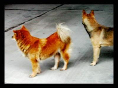 STREET DOGS IN ASIA WITH STRAIGHT REAR/BLUE TONGUE