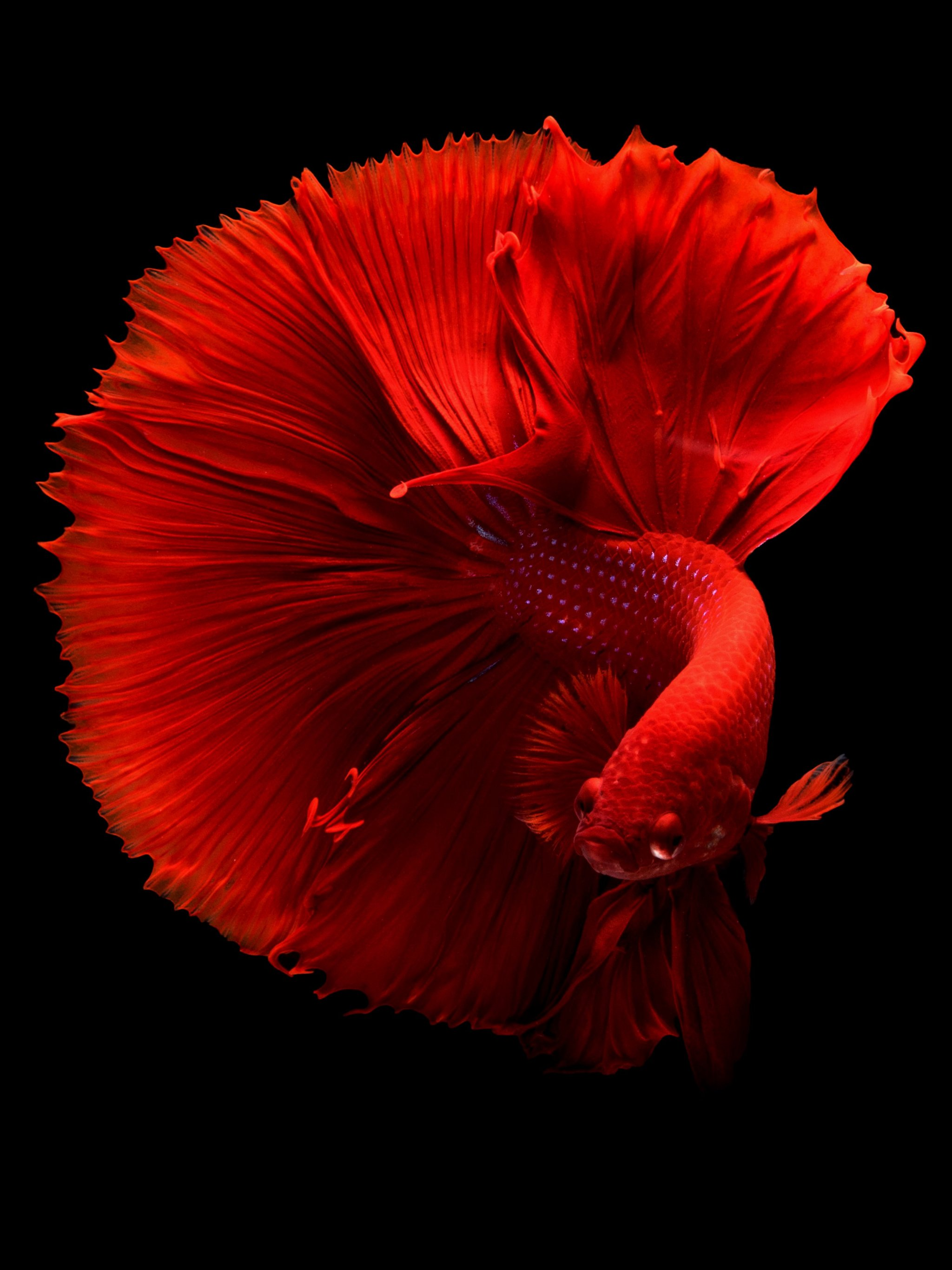 Siamese Fighting Fish Wallpaper Iphone Android Desktop Backgrounds