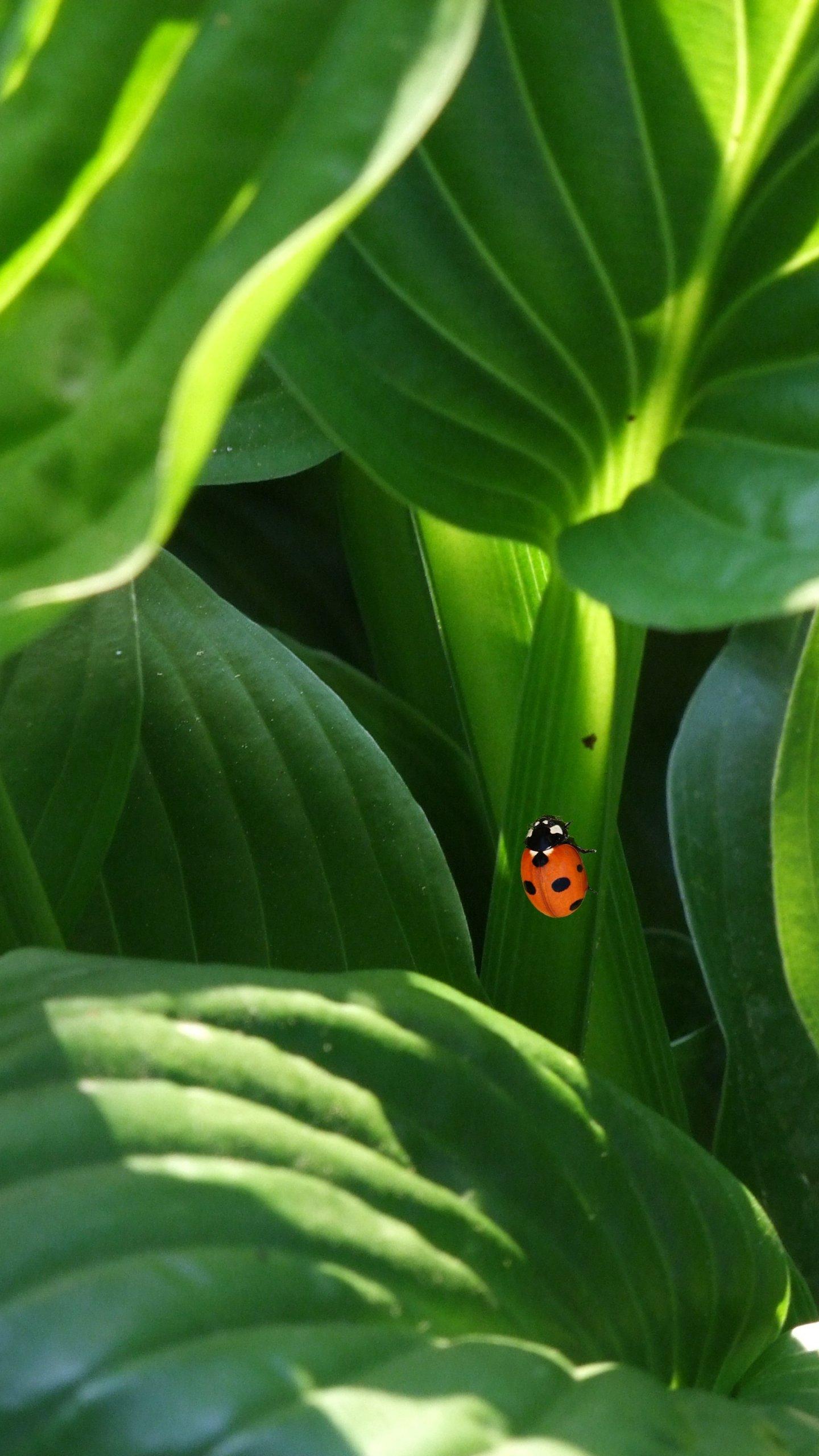 ladybug on leaves wallpaper - iphone, android & desktop backgrounds