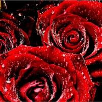 Czerwone róże zroszone woda rosa