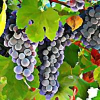 Kiście winogronu